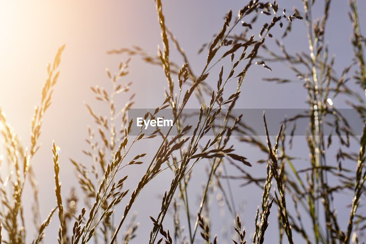 plant, growth, no people, focus on foreground, nature, beauty in nature, close-up, tranquility, day, sky, selective focus, crop, agriculture, outdoors, cereal plant, sunlight, field, land, plant stem, clear sky, stalk