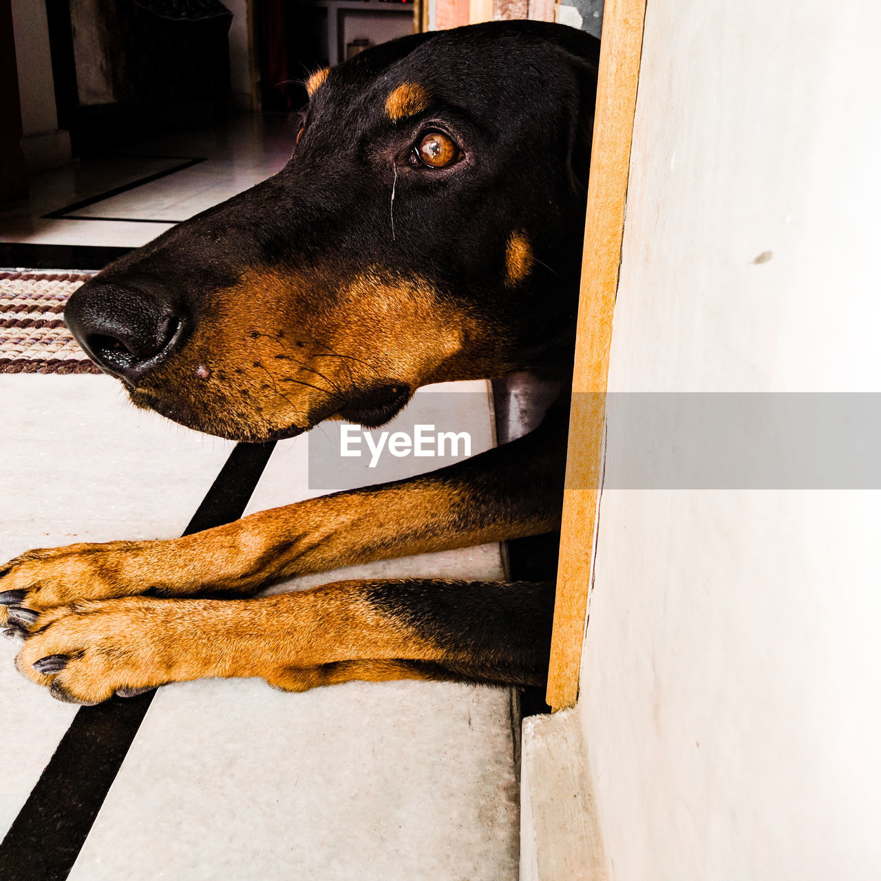 one animal, domestic animals, domestic, pets, mammal, animal themes, animal, dog, canine, vertebrate, no people, looking, close-up, black color, indoors, looking away, day, relaxation, side view, portrait, animal head, purebred dog, animal mouth