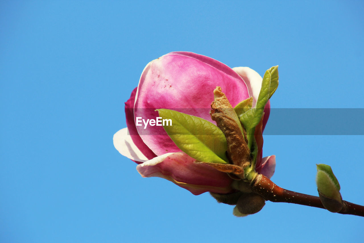 freshness, plant, flower, flowering plant, clear sky, beauty in nature, pink color, nature, growth, close-up, sky, vulnerability, fragility, blue, copy space, no people, petal, bud, low angle view, flower head, outdoors, springtime, sepal, blue background