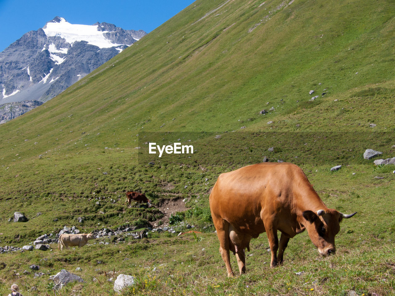 mountain, livestock, domestic animals, animal themes, nature, grass, grazing, cow, field, mammal, cattle, pasture, day, green color, no people, outdoors, landscape, standing, beauty in nature, scenics, mountain range, sky
