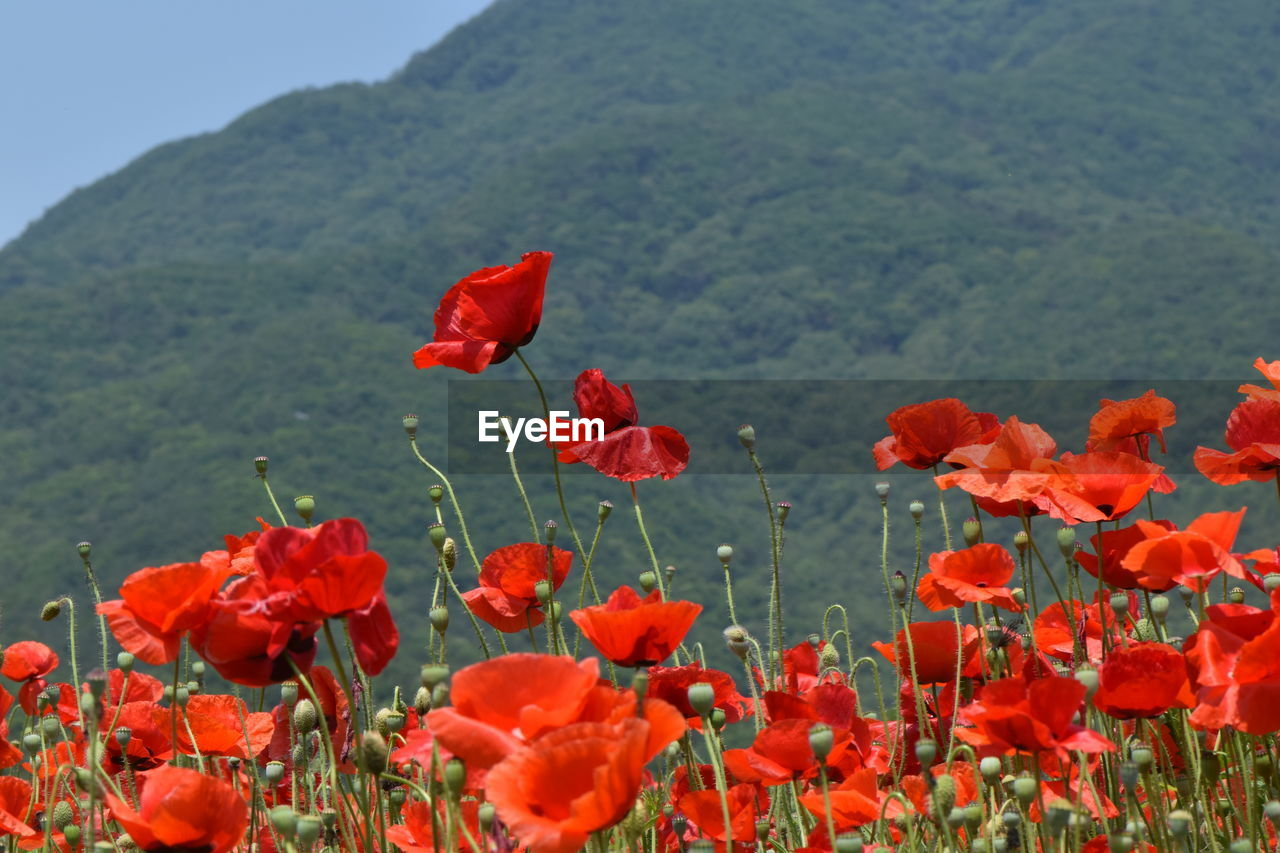 Close-Up Of Red Poppy Flowers Blooming On Field