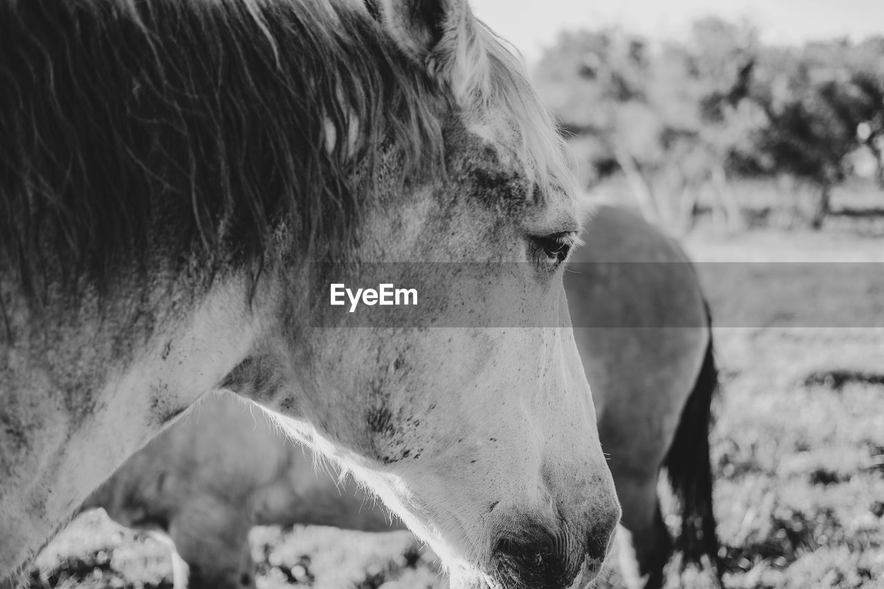 mammal, animal themes, domestic animals, livestock, animal, domestic, pets, focus on foreground, vertebrate, close-up, field, animal wildlife, one animal, horse, animal body part, land, day, nature, no people, herbivorous, outdoors, animal head, ranch, profile view