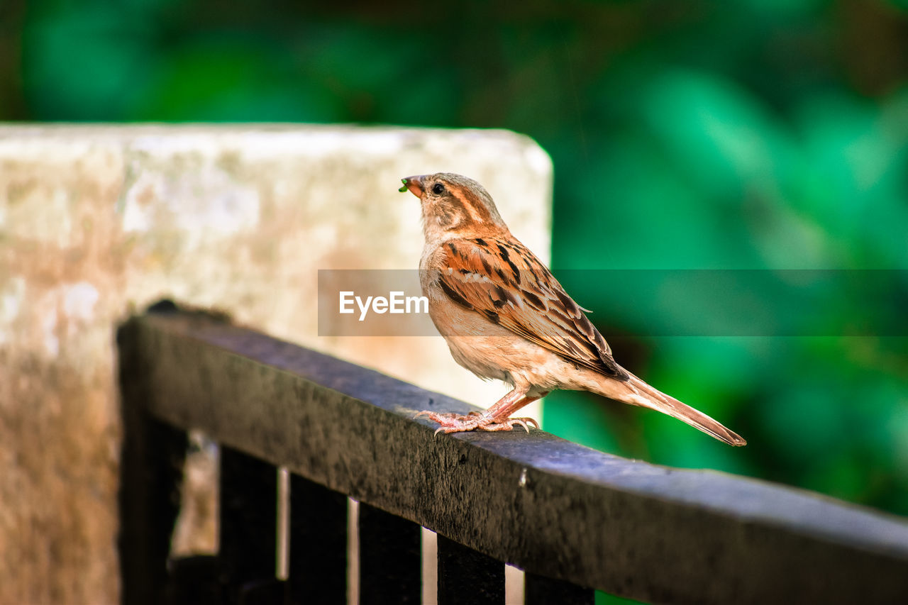 bird, animal themes, animal, animal wildlife, vertebrate, one animal, animals in the wild, perching, focus on foreground, sparrow, day, railing, no people, outdoors, selective focus, wood - material, nature, zoology, close-up, full length