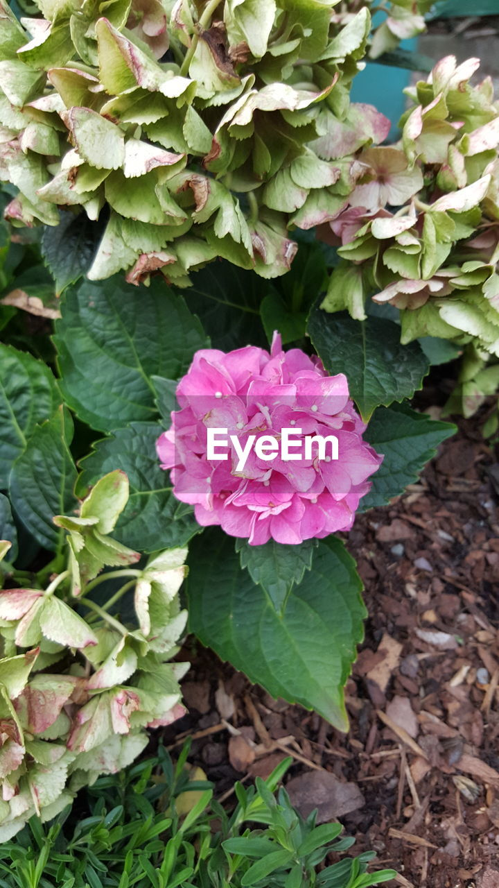 growth, leaf, green color, flower, nature, petal, beauty in nature, fragility, plant, freshness, day, outdoors, flower head, pink color, blooming, no people, close-up, periwinkle