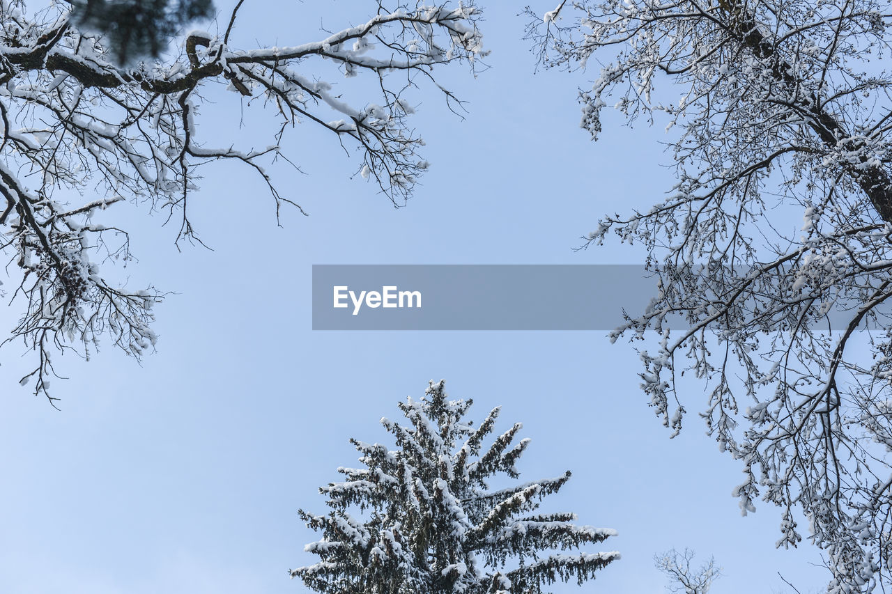 tree, sky, plant, low angle view, branch, beauty in nature, growth, no people, nature, day, tranquility, clear sky, outdoors, bare tree, cold temperature, scenics - nature, tranquil scene, winter, blue, coniferous tree
