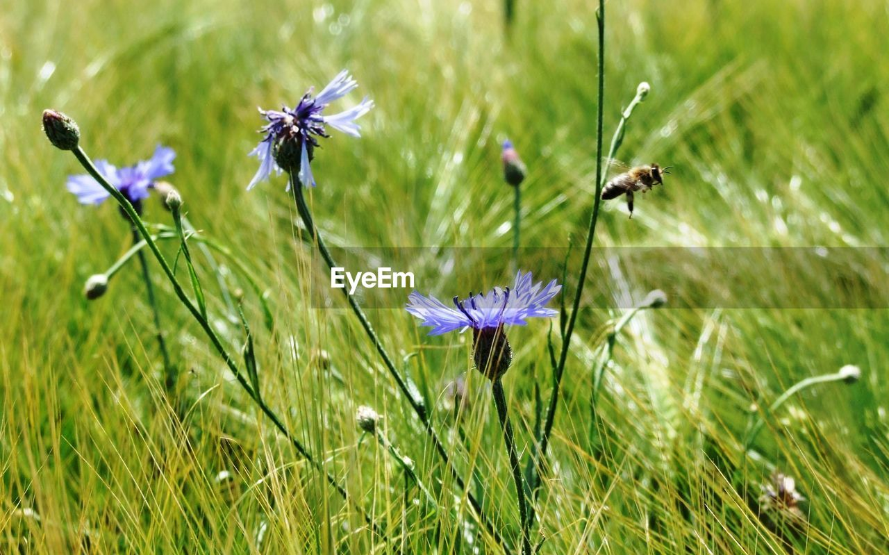 Close-Up Of Fresh Purple Flowers Blooming In Field