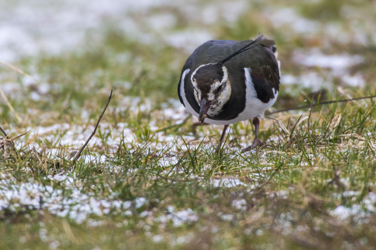 bird, animal themes, animal, animals in the wild, one animal, animal wildlife, selective focus, vertebrate, no people, day, nature, plant, close-up, land, grass, field, outdoors, zoology, poultry, black color