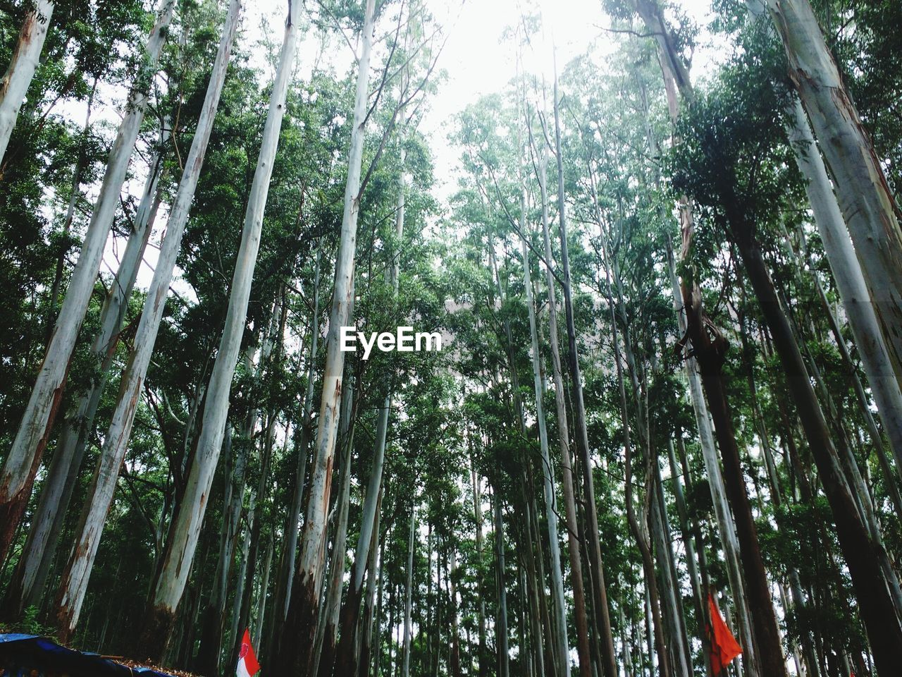 tree, nature, low angle view, forest, bamboo grove, bamboo - plant, growth, day, beauty in nature, tranquility, outdoors, tree trunk, no people, scenics, sky