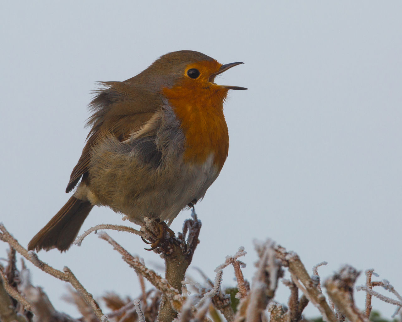 Close-Up Of Robin Perching On Frozen Plant