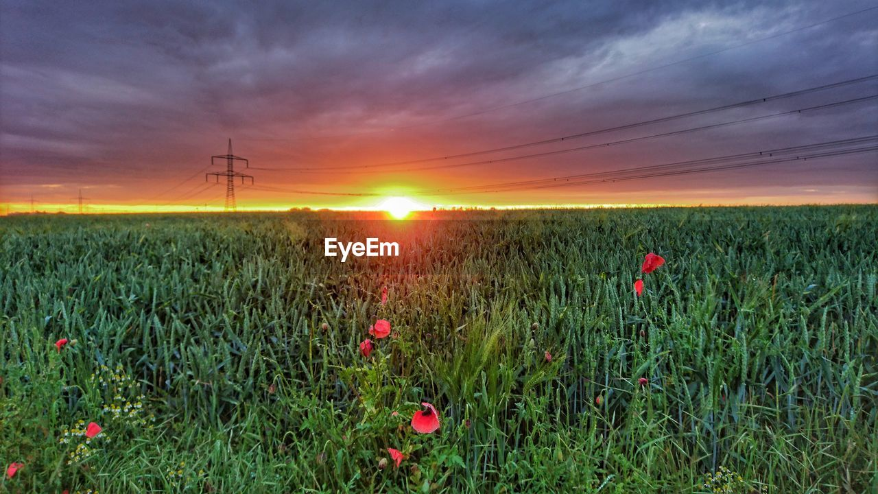 field, nature, growth, sunset, beauty in nature, agriculture, crop, sky, rural scene, plant, flower, grass, cereal plant, landscape, cloud - sky, tranquility, outdoors, tranquil scene, poppy, scenics, red, no people, day