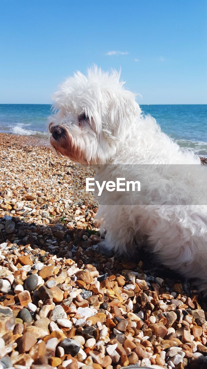 sea, dog, one animal, canine, domestic, pets, water, animal, domestic animals, animal themes, mammal, beach, sky, land, horizon over water, white color, horizon, solid, rock, pebble, no people