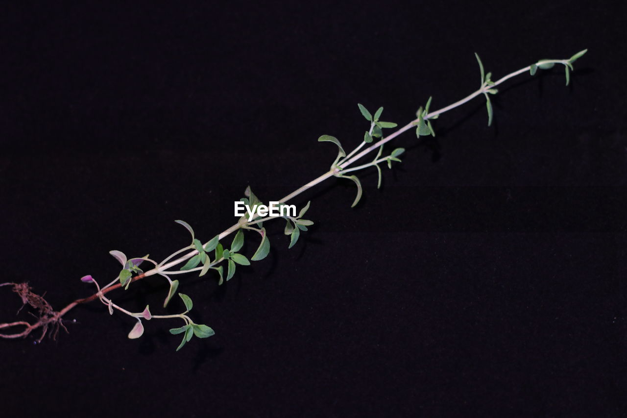 CLOSE-UP OF CREEPER PLANT AGAINST BLACK BACKGROUND
