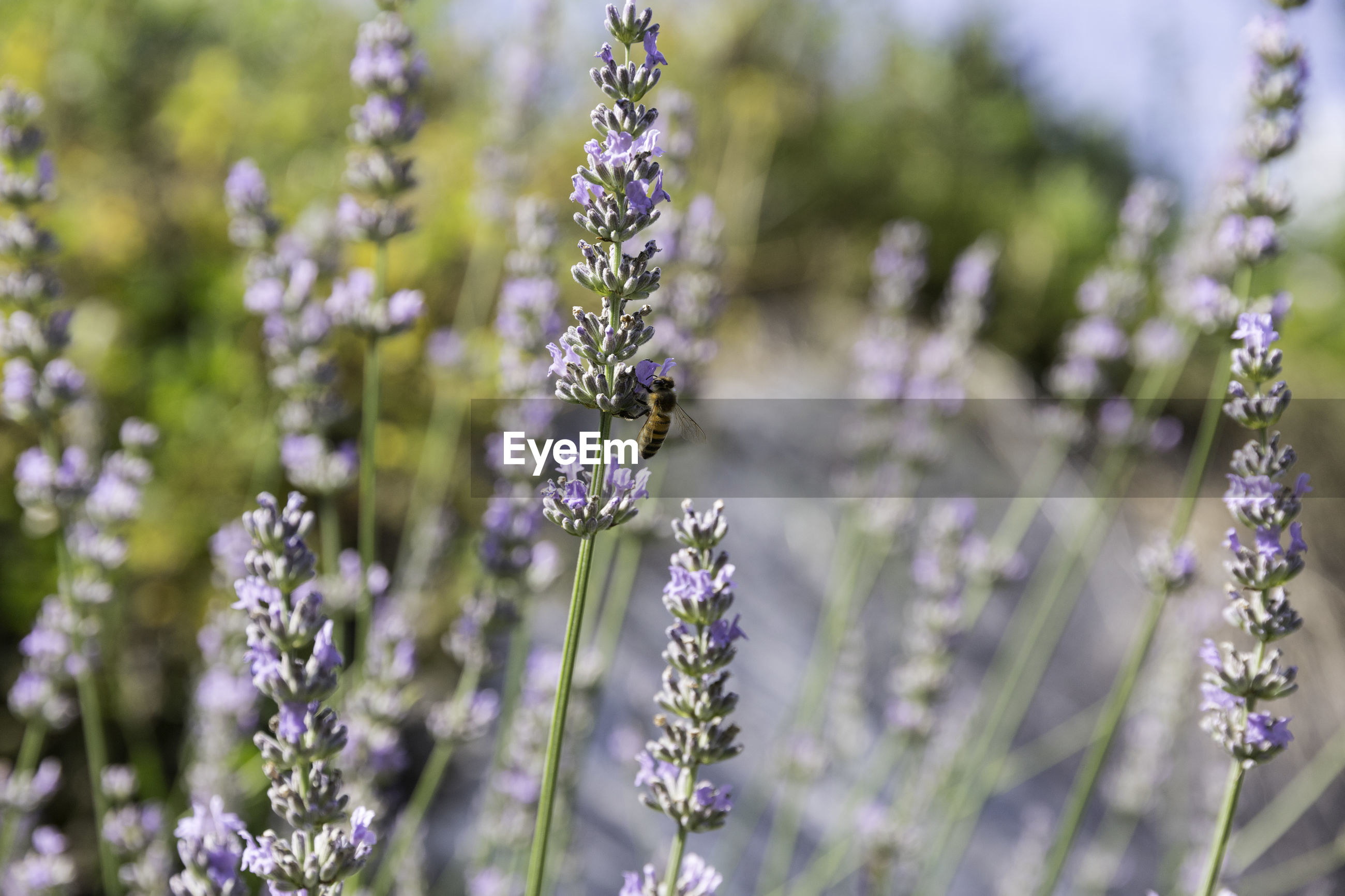 CLOSE-UP OF INSECT ON LAVENDER