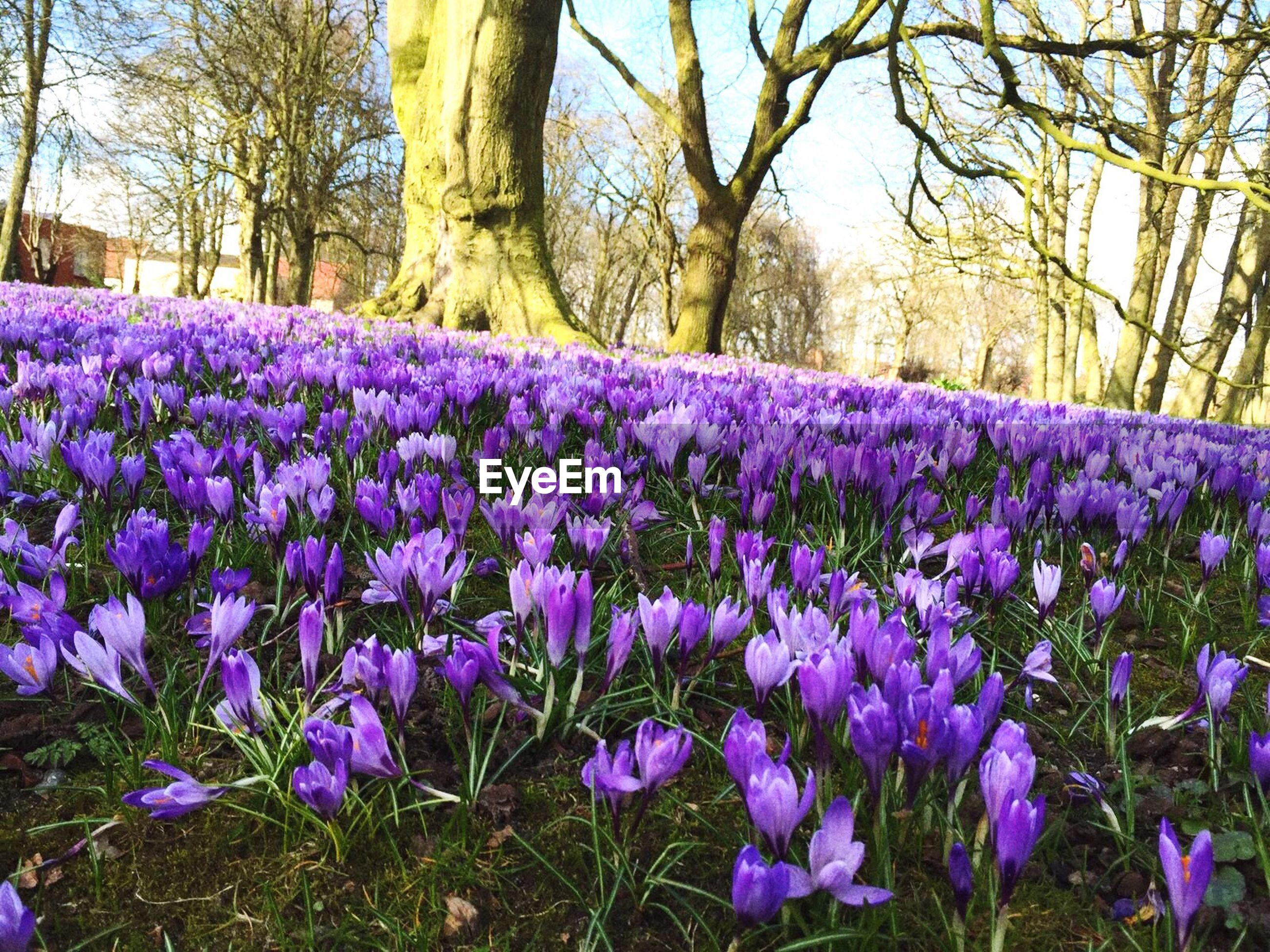 purple, nature, flower, growth, tree, beauty in nature, tranquil scene, outdoors, plant, freshness, no people, scenics, fragility, tranquility, day, flower head, crocus