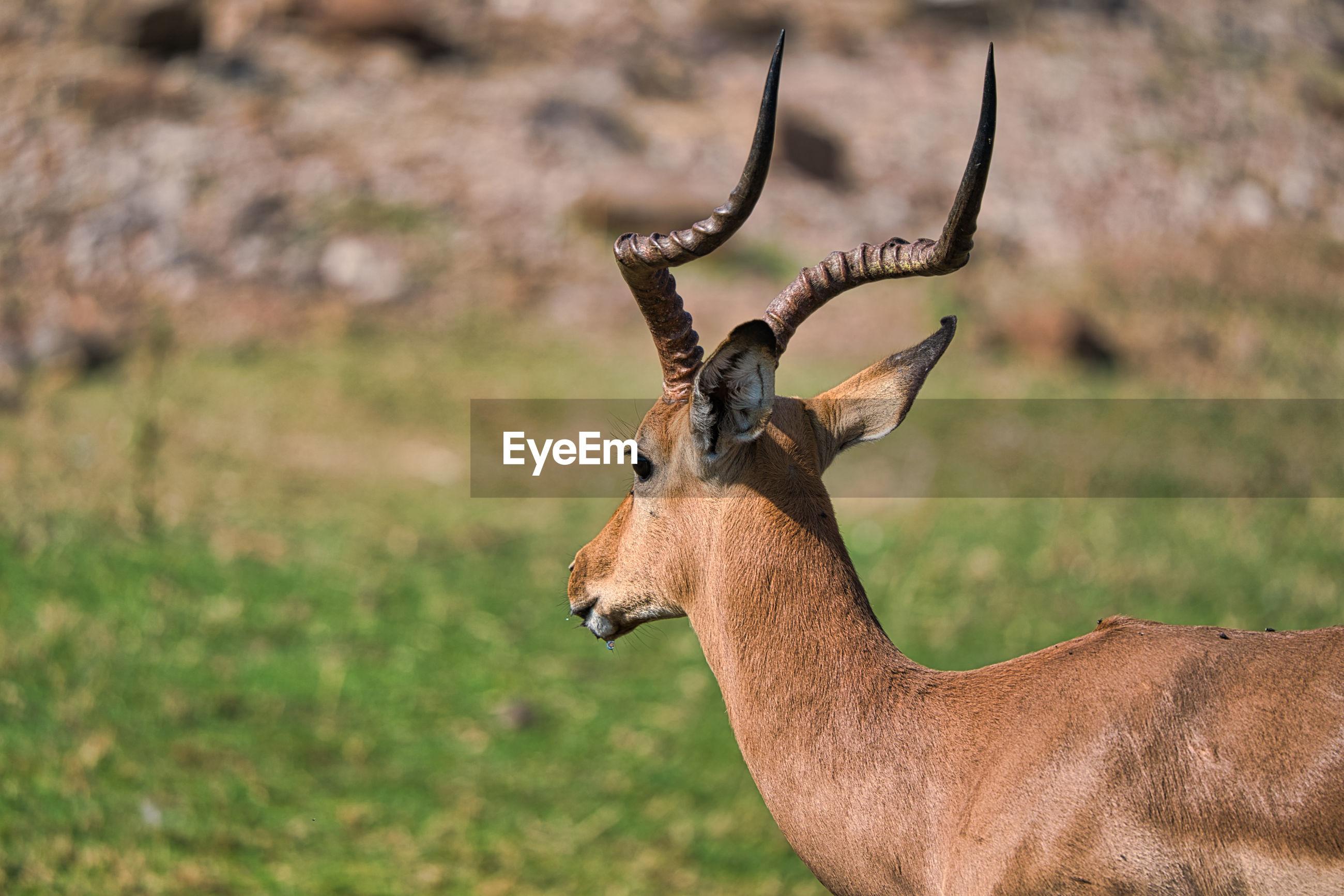 Antelope in chobe safari park, zimbabwe, africa