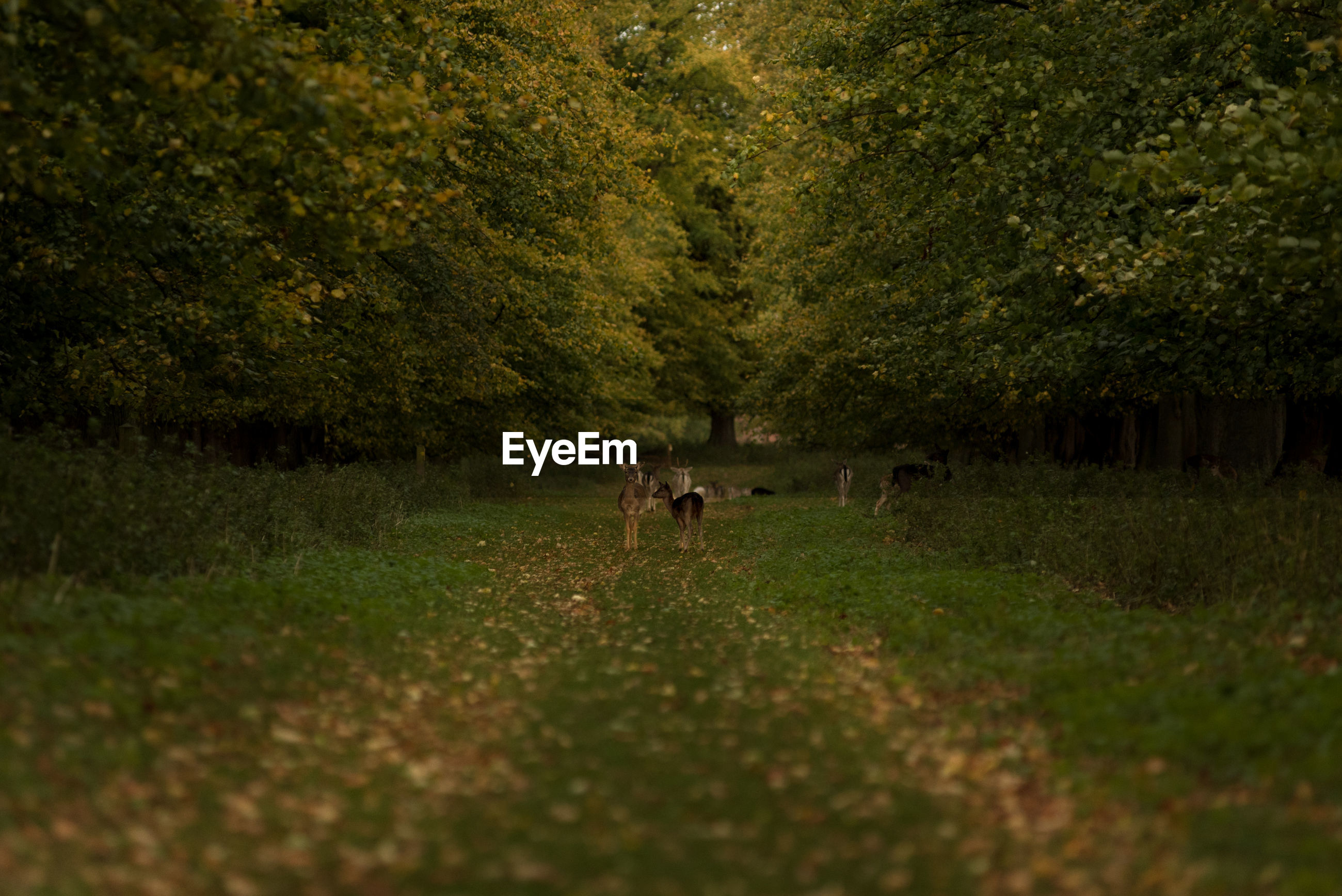 Deer standing on grass amidst trees in forest