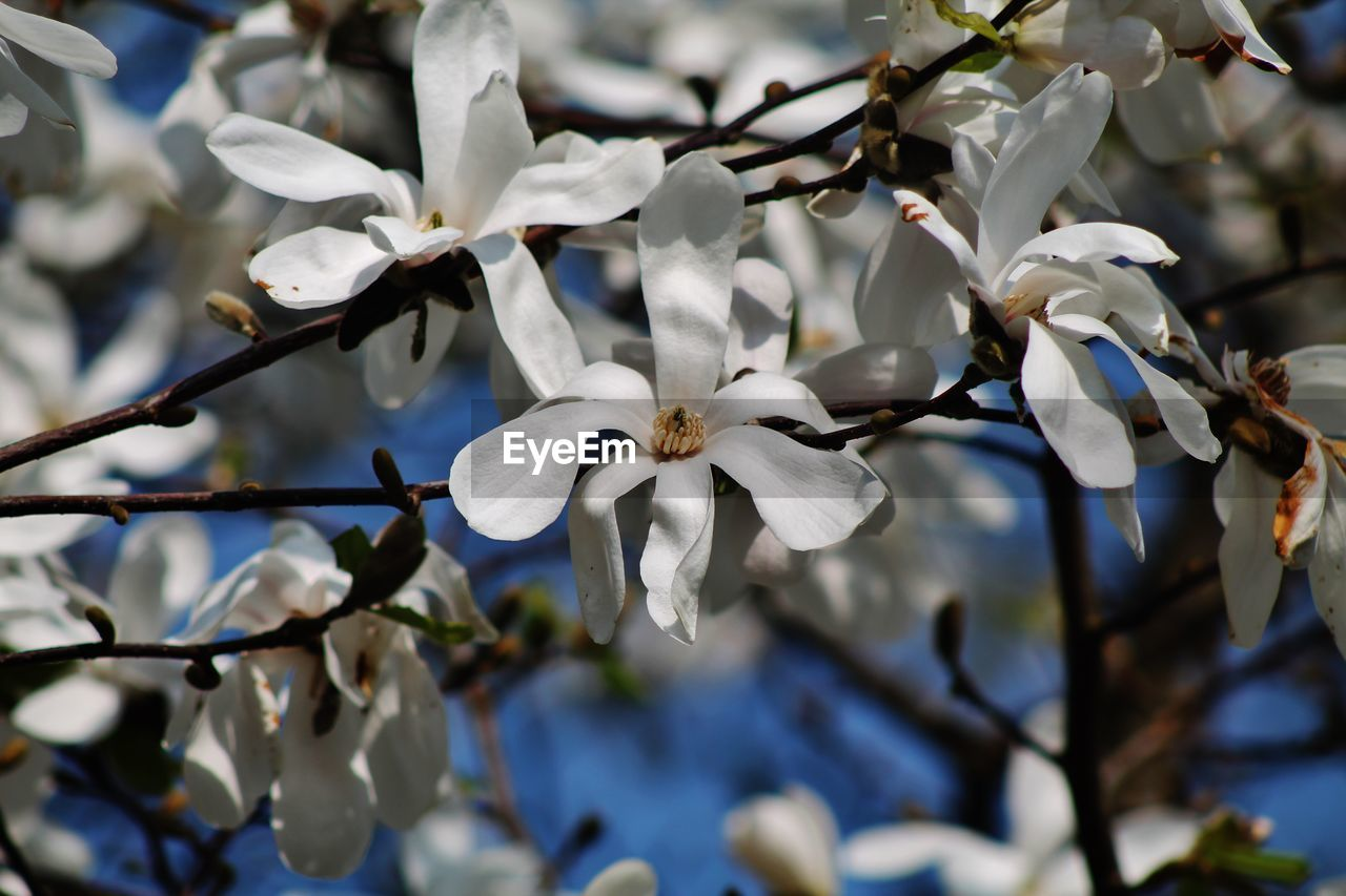 white color, flower, petal, fragility, beauty in nature, branch, freshness, growth, magnolia, flower head, nature, tree, day, no people, blossom, springtime, close-up, focus on foreground, blooming, outdoors
