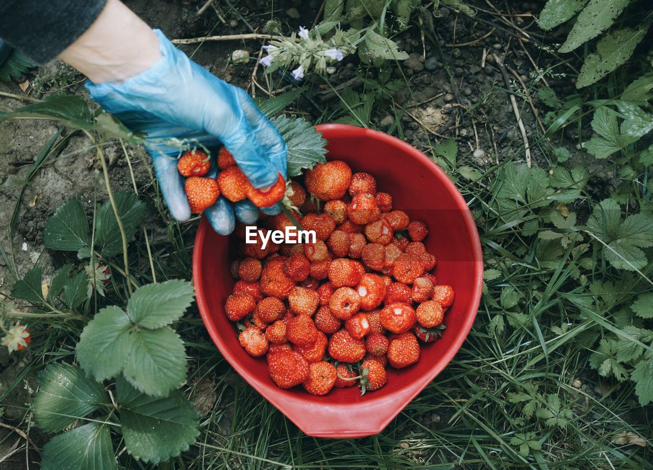 Cropped hands placing strawberries in basket on field