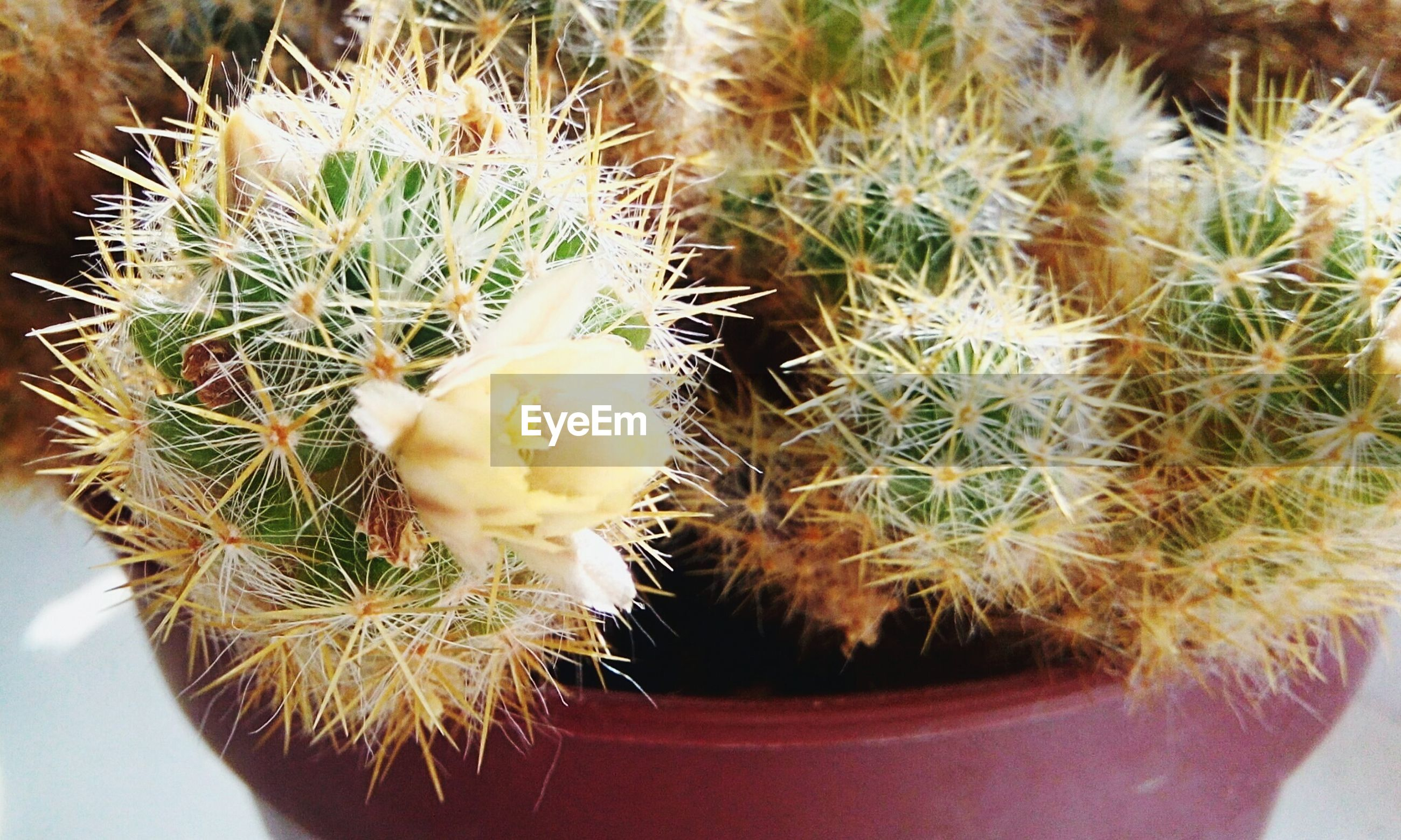 cactus, succulent plant, plant, growth, close-up, thorn, potted plant, beauty in nature, no people, spiked, sharp, nature, warning sign, sign, day, communication, freshness, green color, focus on foreground, barrel cactus, outdoors, flower pot, needle - plant part, houseplant