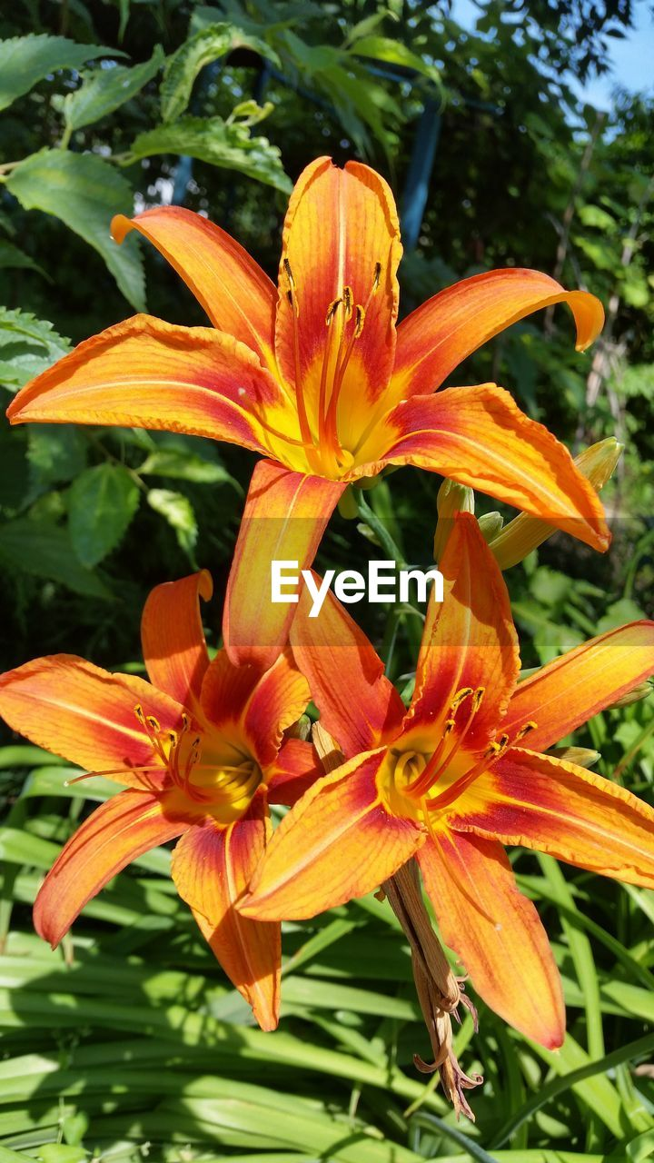 flower, petal, growth, orange color, freshness, nature, plant, beauty in nature, flower head, day lily, fragility, outdoors, no people, day, stamen, blooming, close-up