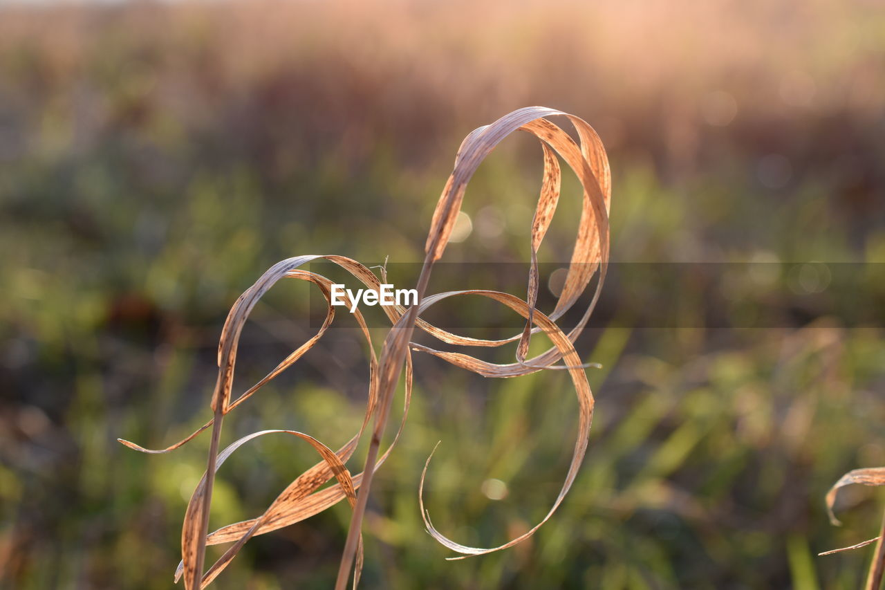 focus on foreground, close-up, growth, plant, no people, nature, beauty in nature, day, outdoors, tendril, green color, selective focus, tranquility, spiral, curled up, field, sunlight, sunset, vulnerability, land