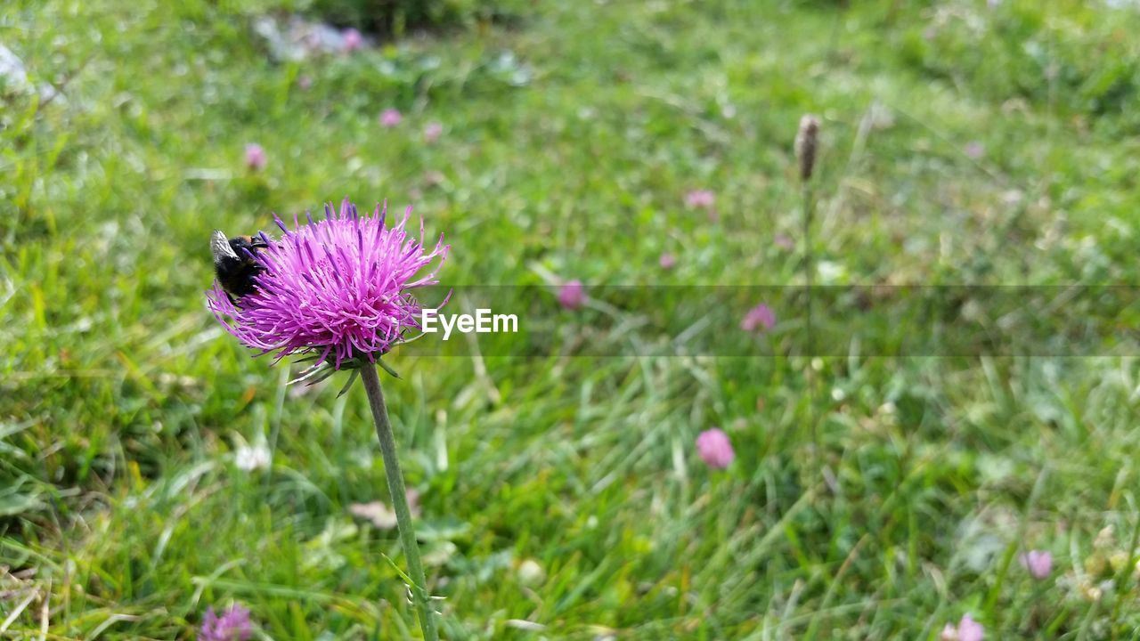 flower, flowering plant, plant, freshness, vulnerability, fragility, growth, beauty in nature, flower head, pink color, field, inflorescence, nature, close-up, purple, land, green color, petal, focus on foreground, no people, outdoors, pollination