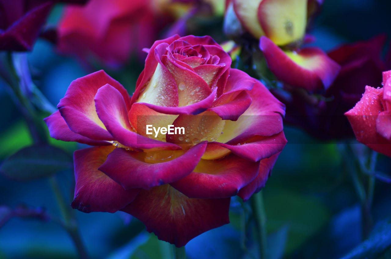 flowering plant, flower, petal, beauty in nature, vulnerability, fragility, plant, inflorescence, flower head, growth, freshness, close-up, nature, rose, focus on foreground, no people, day, rose - flower, outdoors, softness, purple