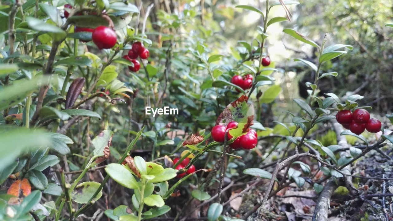 fruit, red, growth, tree, food and drink, berry fruit, nature, rose hip, outdoors, branch, growing, rowanberry, no people, day, food, plant, freshness, leaf, green color, close-up, beauty in nature, healthy eating
