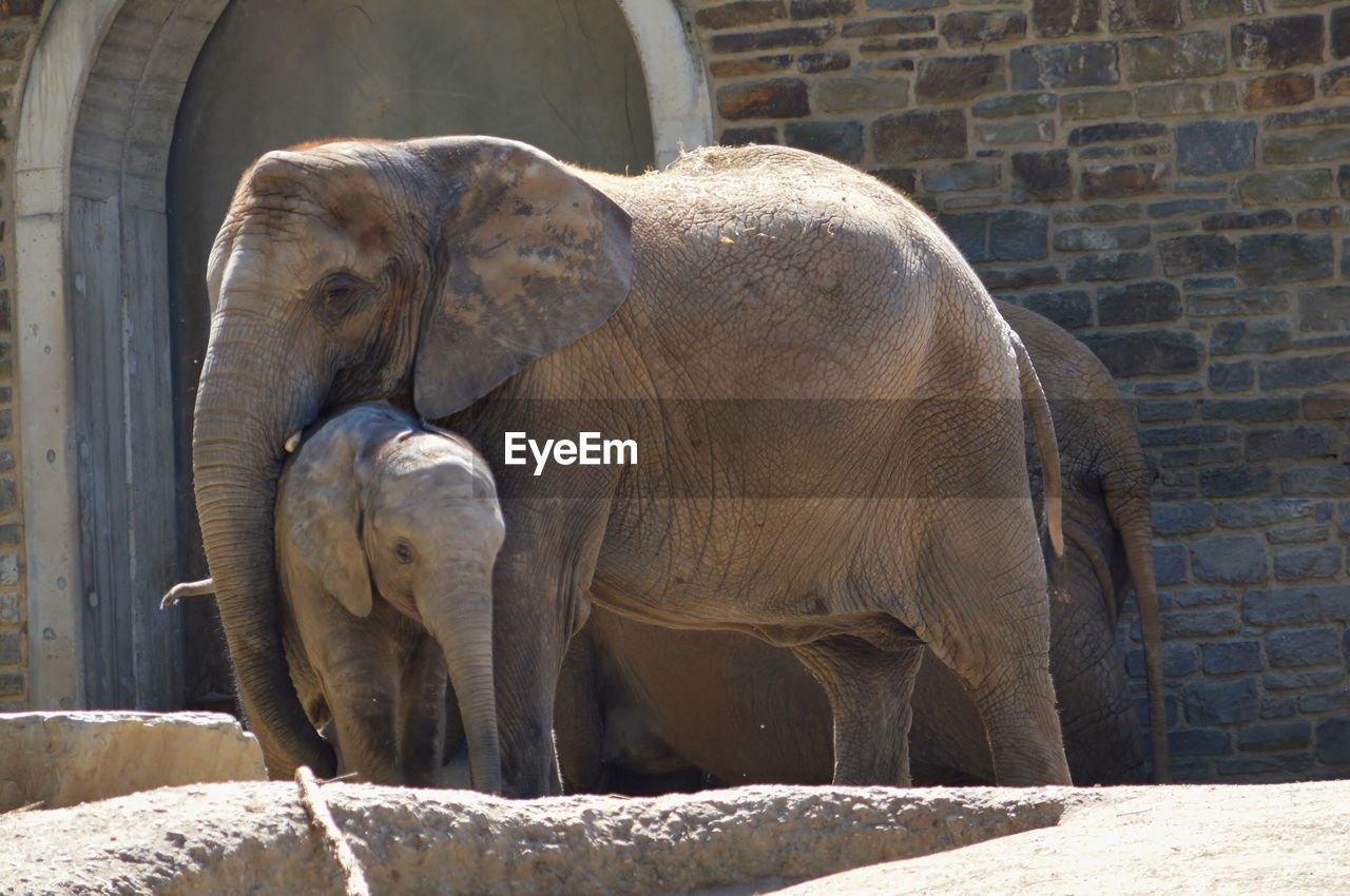 animal, animal themes, mammal, vertebrate, animals in the wild, animal wildlife, elephant, day, group of animals, zoo, sunlight, no people, wall, nature, animals in captivity, wall - building feature, animal trunk, two animals, young animal, zoology, outdoors, animal family, herbivorous