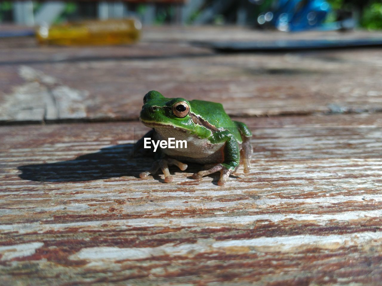 one animal, animal themes, animals in the wild, animal, animal wildlife, green color, vertebrate, day, amphibian, selective focus, close-up, no people, focus on foreground, frog, reptile, outdoors, wood - material, nature, lizard, footpath, animal eye