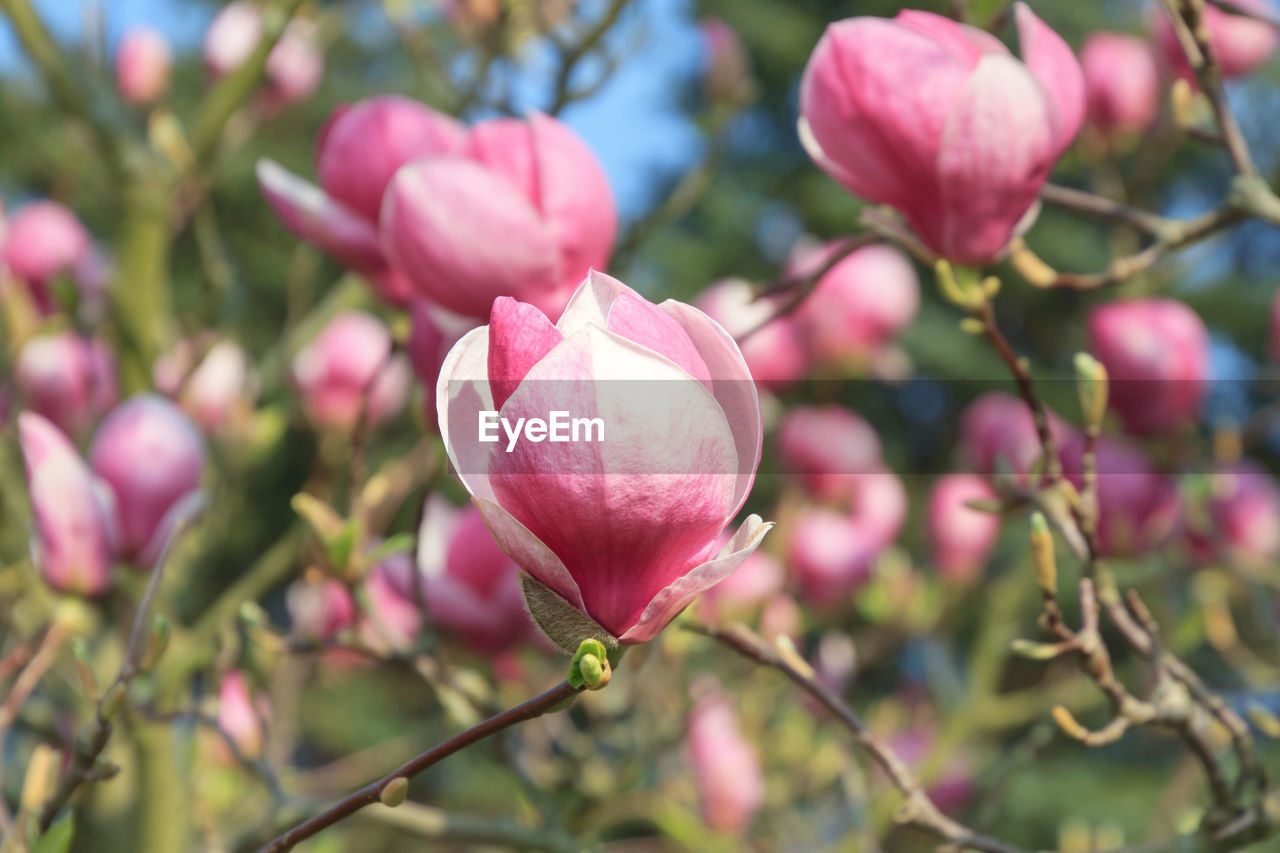 plant, pink color, beauty in nature, flowering plant, growth, flower, freshness, fragility, vulnerability, petal, close-up, no people, blossom, nature, branch, tree, flower head, day, focus on foreground, inflorescence, springtime, outdoors, spring