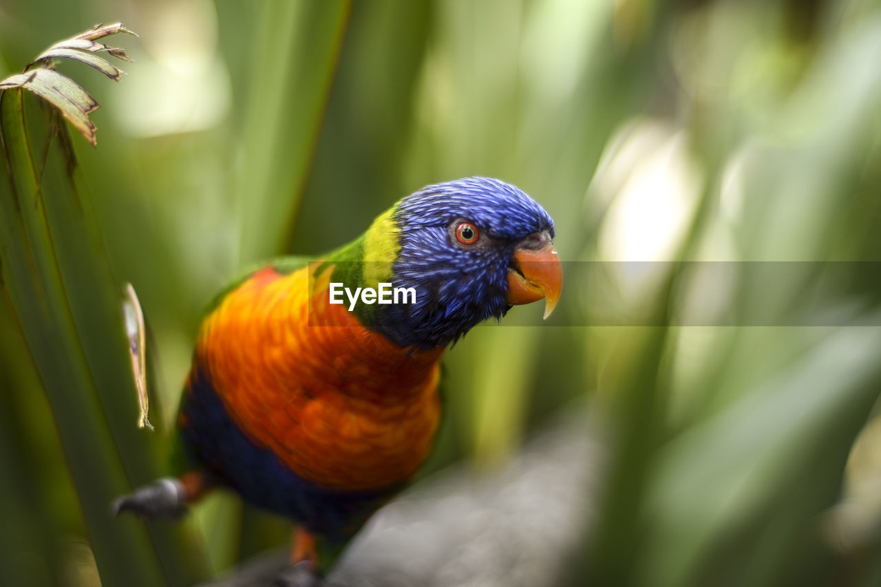 animal themes, animal wildlife, vertebrate, animal, animals in the wild, rainbow lorikeet, one animal, bird, close-up, parrot, day, no people, multi colored, perching, selective focus, nature, beauty in nature, looking away, focus on foreground, outdoors, animal eye