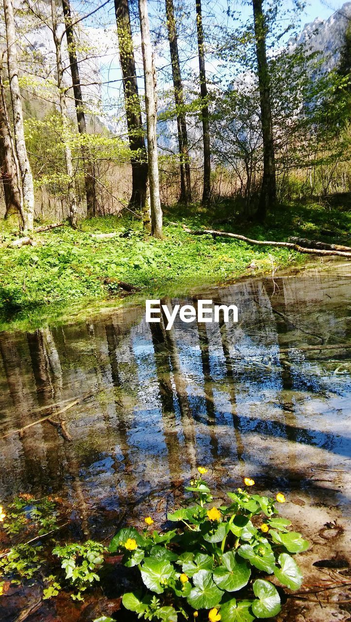 water, plant, tree, reflection, forest, tranquility, nature, beauty in nature, lake, no people, day, growth, tranquil scene, scenics - nature, trunk, tree trunk, green color, land, outdoors, swamp, shallow, floating on water
