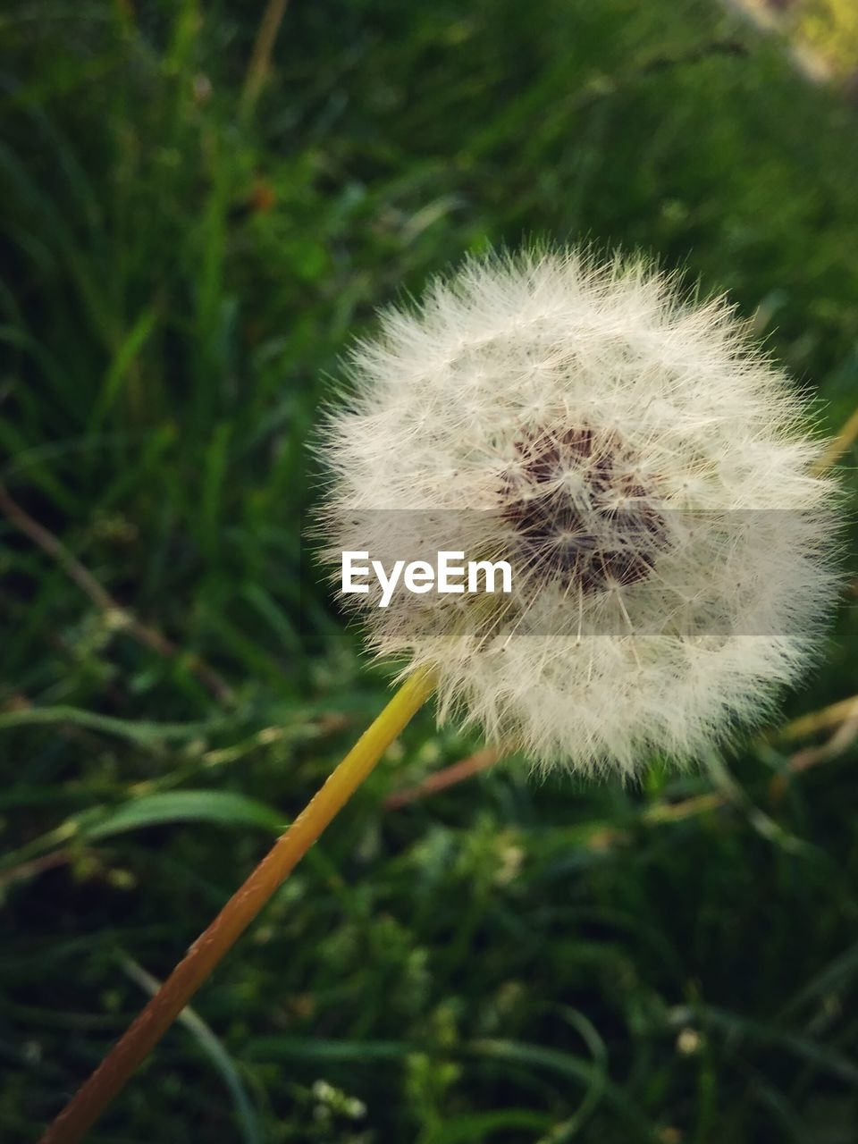 nature, growth, plant, dandelion, fragility, close-up, beauty in nature, flower, focus on foreground, outdoors, freshness, no people, day, flower head