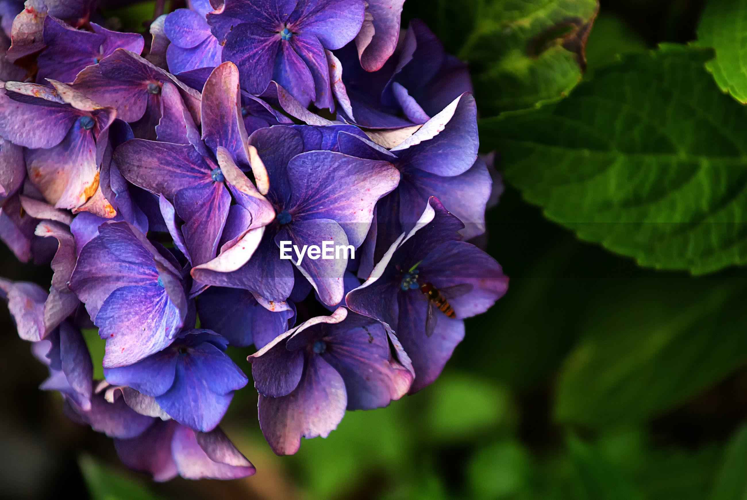 Close-up of purple hydrangea flowers