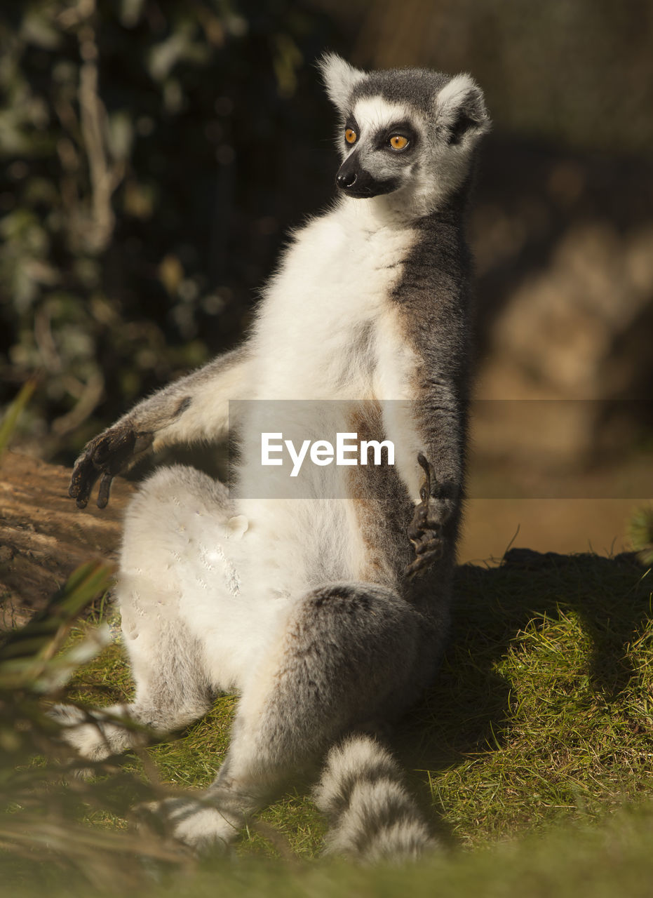 one animal, mammal, vertebrate, animal wildlife, nature, animals in the wild, no people, selective focus, sitting, day, lemur, looking, full length, plant, looking away, outdoors, close-up