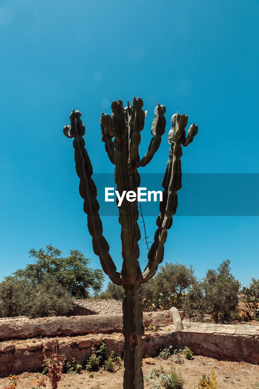 plant, sky, nature, blue, growth, no people, day, tree, succulent plant, cactus, tranquility, sunlight, clear sky, land, beauty in nature, tranquil scene, environment, non-urban scene, scenics - nature, saguaro cactus, outdoors, climate, arid climate