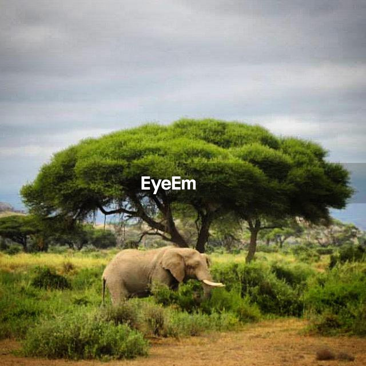 tree, animals in the wild, animal, one animal, animal themes, animal wildlife, no people, cloud - sky, day, mammal, full length, side view, grass, nature, sky, safari animals, elephant, outdoors, african elephant