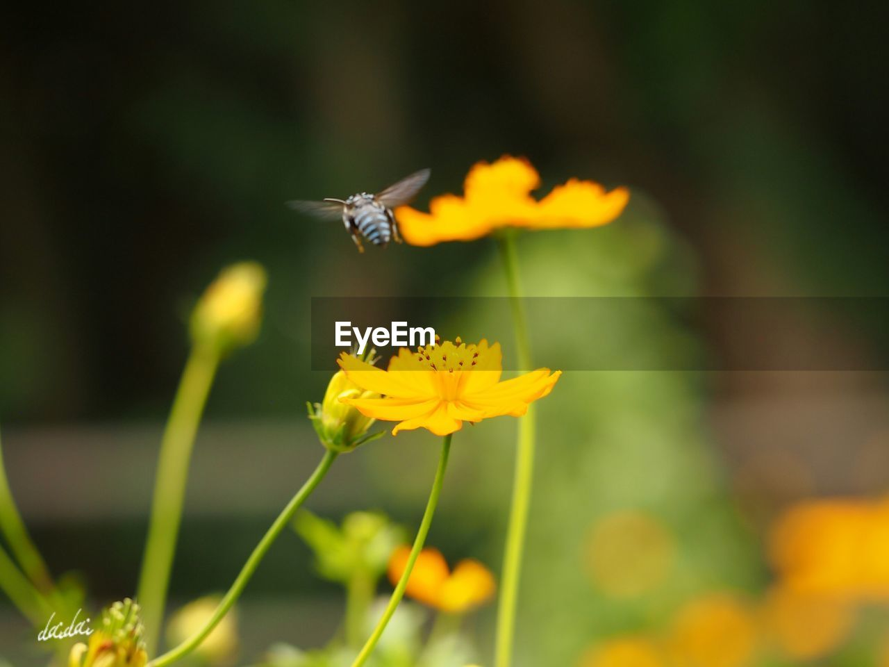 flower, animal themes, one animal, animals in the wild, insect, nature, fragility, petal, yellow, beauty in nature, plant, growth, no people, outdoors, freshness, focus on foreground, animal wildlife, day, flower head, blooming, close-up, pollination, flying, bee, buzzing