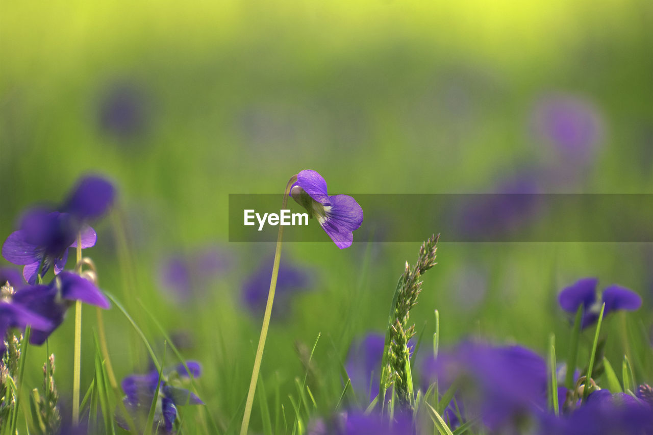 flower, plant, flowering plant, purple, fragility, vulnerability, growth, beauty in nature, freshness, field, close-up, land, petal, nature, selective focus, no people, flower head, inflorescence, day, focus on foreground, lavender, iris, crocus