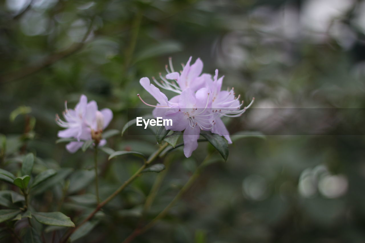 flower, flowering plant, plant, beauty in nature, vulnerability, fragility, freshness, growth, petal, close-up, flower head, focus on foreground, nature, inflorescence, selective focus, day, no people, outdoors, park, park - man made space, purple