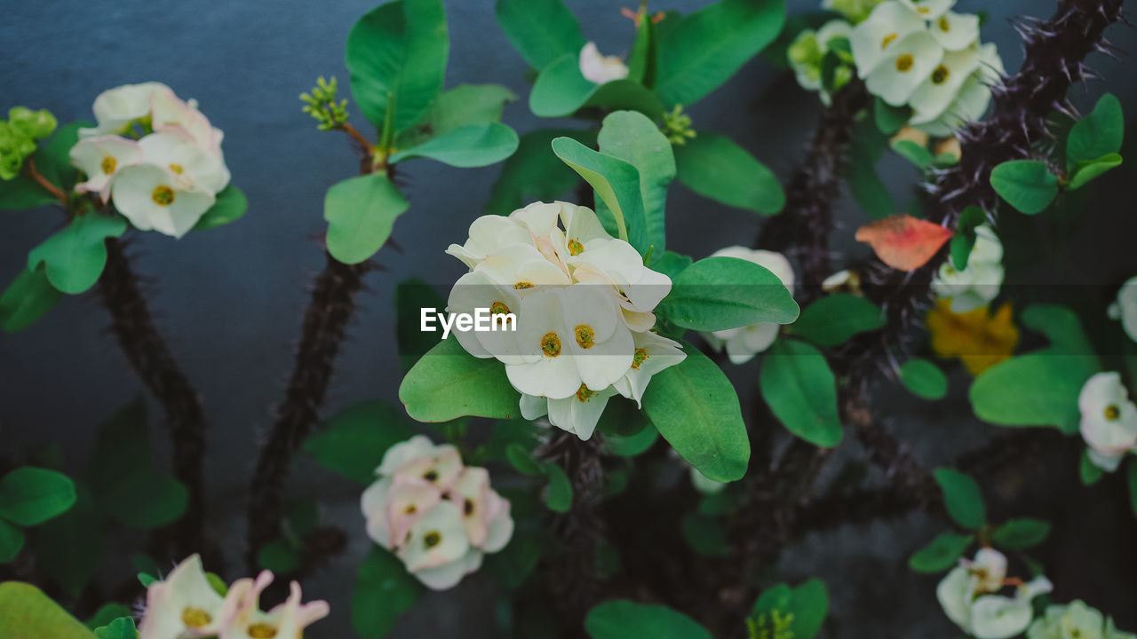 flower, growth, fragility, freshness, beauty in nature, nature, petal, plant, flower head, leaf, white color, day, blossom, outdoors, blooming, no people, green color, focus on foreground, high angle view, springtime, close-up, water, tree, periwinkle