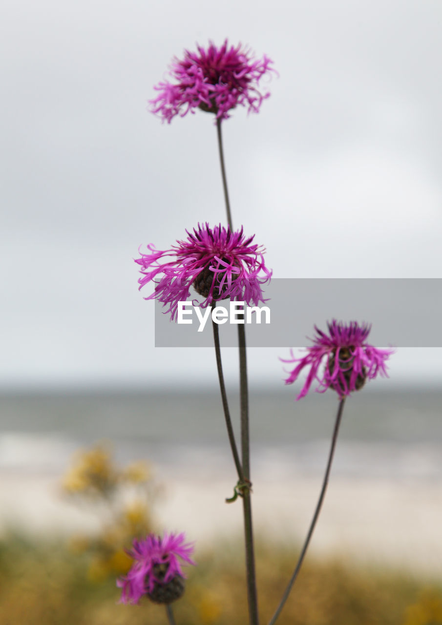 flowering plant, flower, vulnerability, fragility, freshness, beauty in nature, plant, flower head, inflorescence, close-up, growth, petal, nature, pink color, focus on foreground, no people, purple, plant stem, sky, selective focus, outdoors