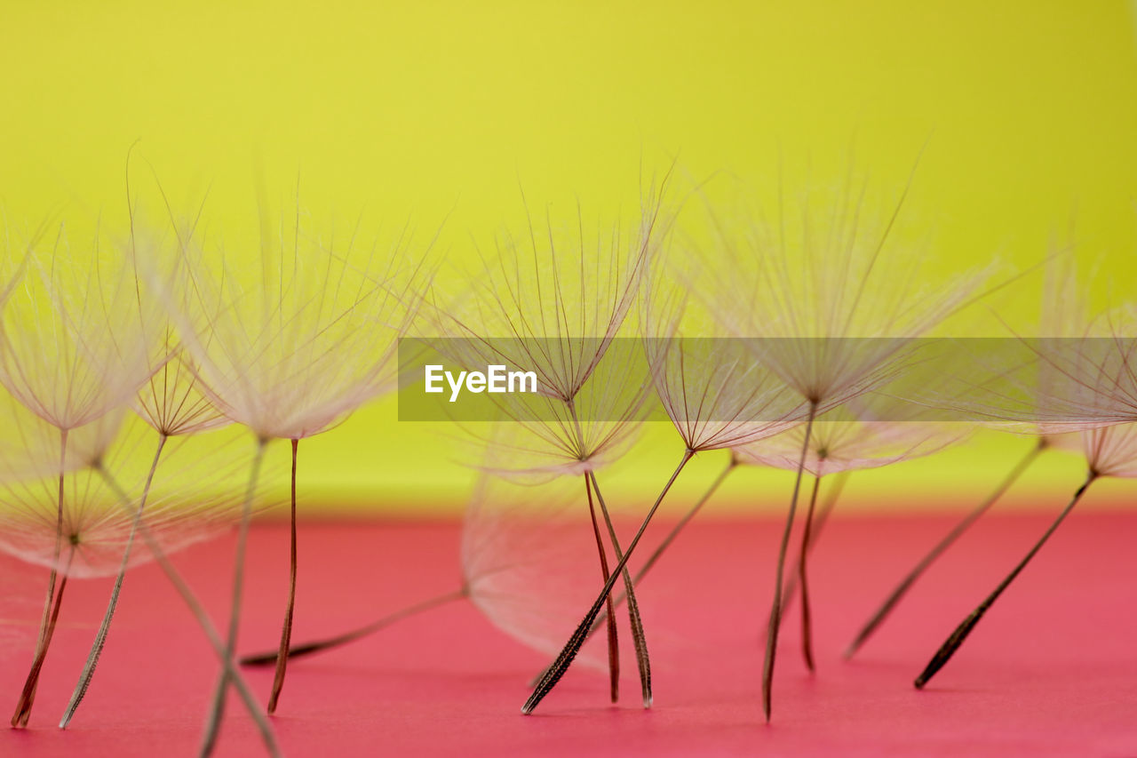 Close-up of dandelions against yellow background