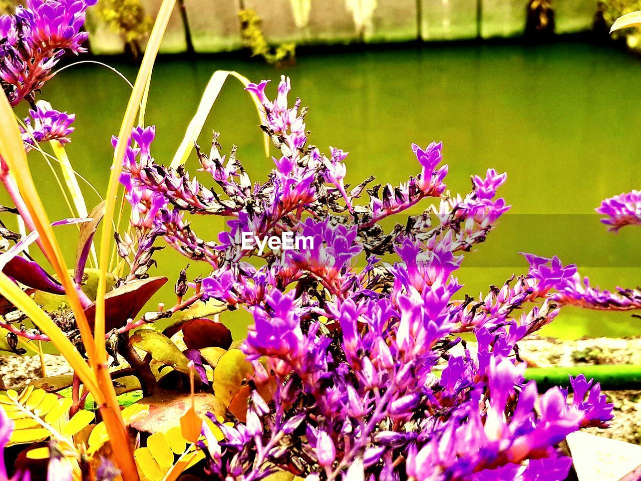 flowering plant, flower, plant, beauty in nature, vulnerability, fragility, freshness, growth, close-up, petal, nature, purple, water, pink color, day, no people, flower head, inflorescence, botany, springtime, outdoors