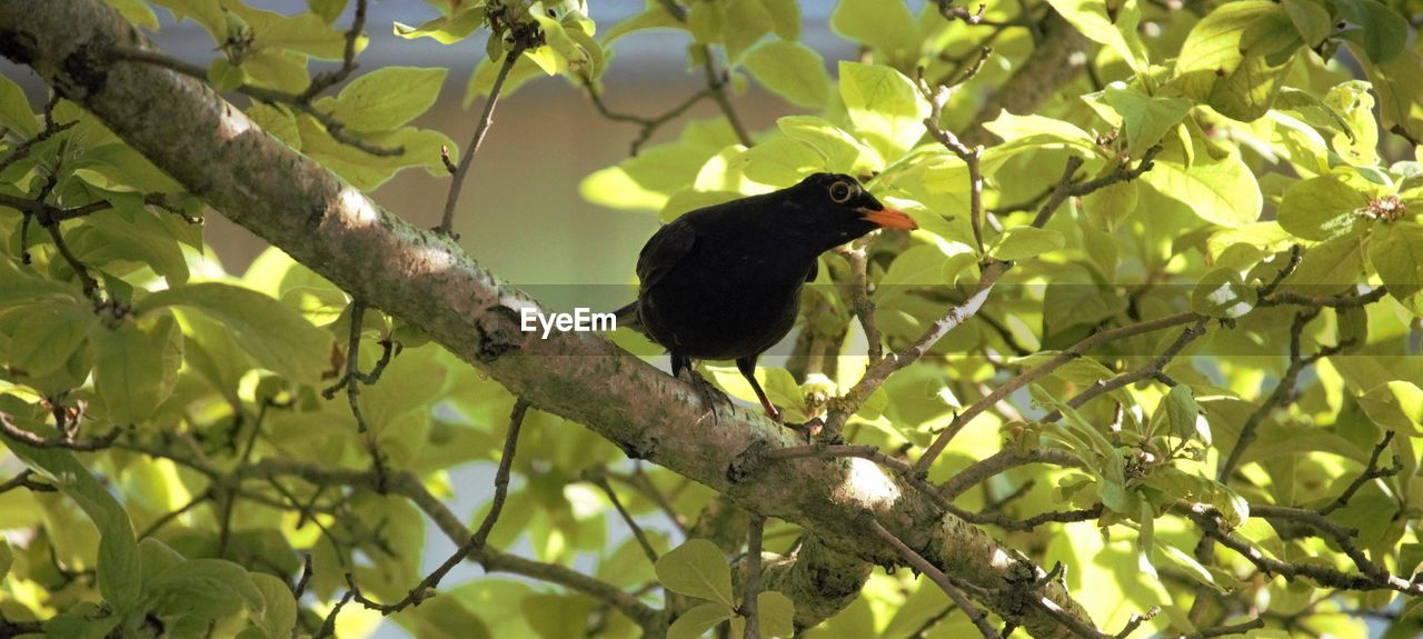 bird, tree, animal themes, vertebrate, animal, one animal, plant, branch, perching, animals in the wild, animal wildlife, blackbird, plant part, leaf, no people, black color, nature, low angle view, day, green color, outdoors