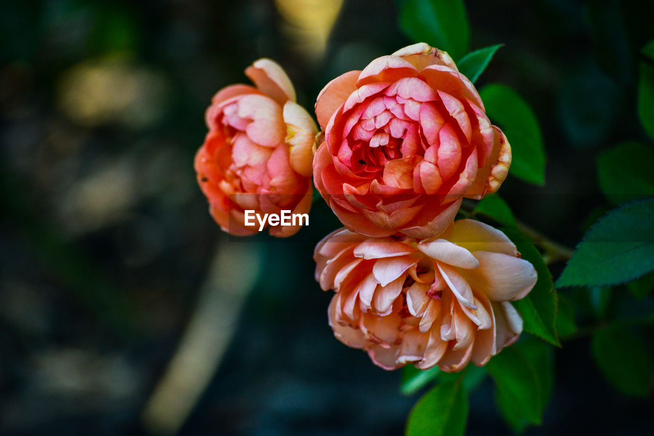 plant, beauty in nature, flower, flowering plant, close-up, freshness, vulnerability, growth, fragility, focus on foreground, petal, flower head, inflorescence, red, nature, no people, day, rose, rose - flower, outdoors
