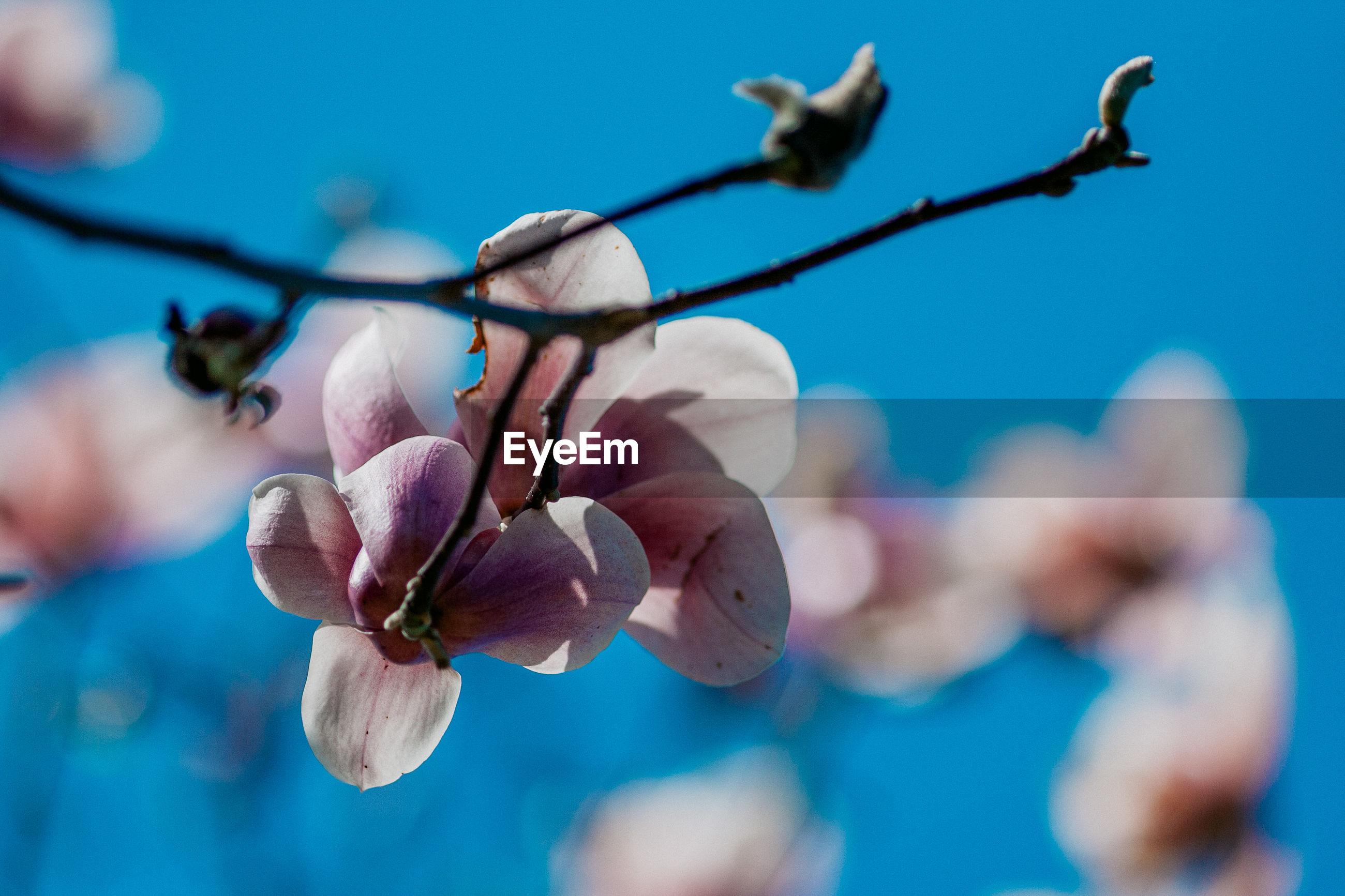 CLOSE-UP OF FRESH CHERRY BLOSSOM AGAINST BLUE SKY