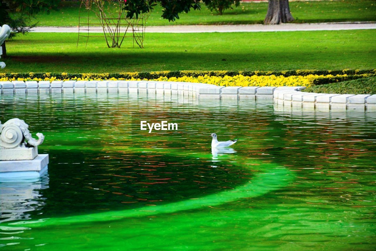animal themes, animals in the wild, one animal, water, bird, green color, nature, animal wildlife, wildlife, day, grass, waterfront, reflection, outdoors, water bird, lake, swimming, no people, beauty in nature, swan, plant, floating on water, growth, domestic animals, mammal, pets