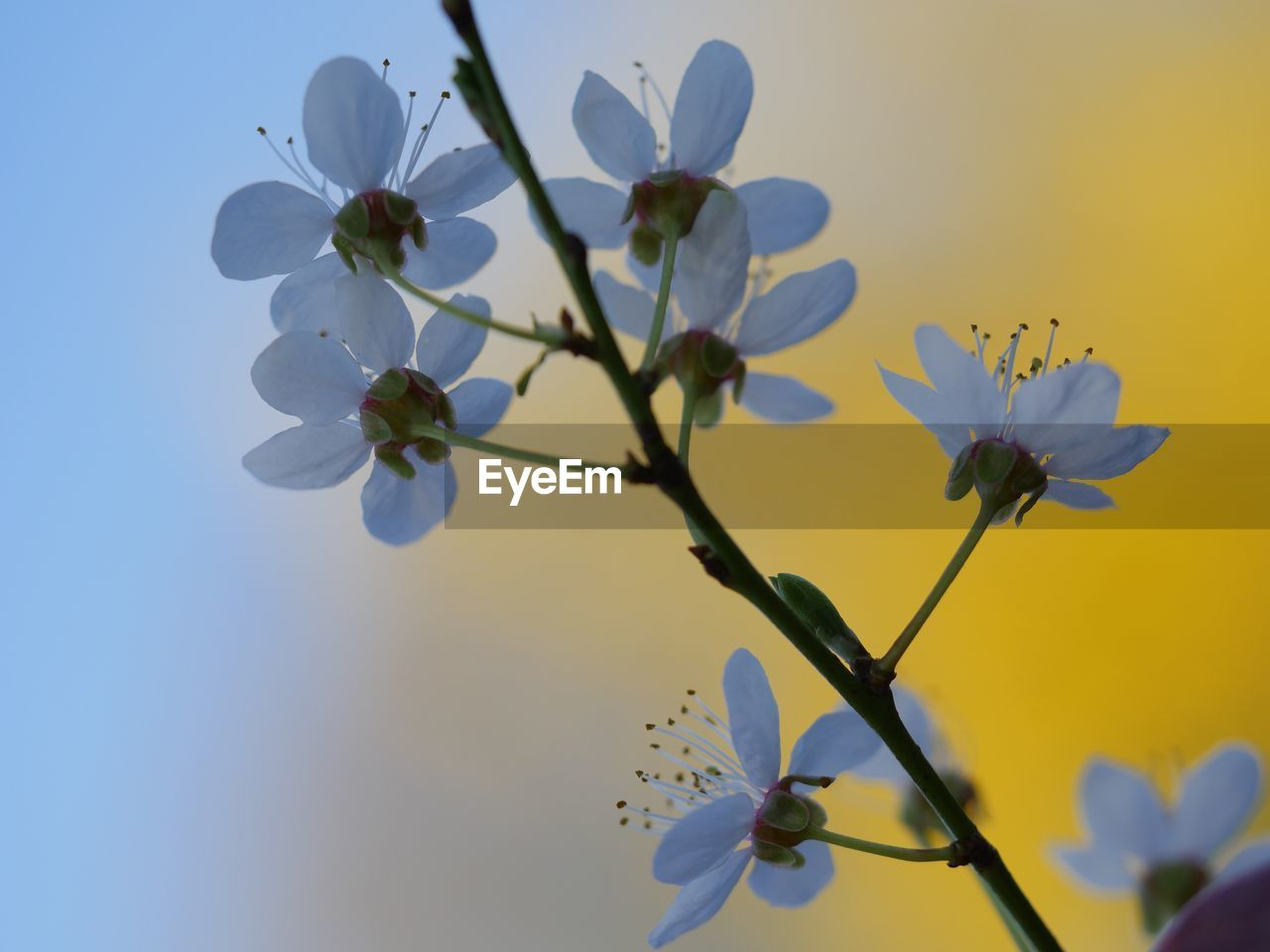 flowering plant, flower, plant, fragility, vulnerability, growth, beauty in nature, freshness, petal, close-up, inflorescence, sky, flower head, nature, springtime, blossom, low angle view, tree, no people, twig, pollen, plum blossom, cherry blossom, cherry tree